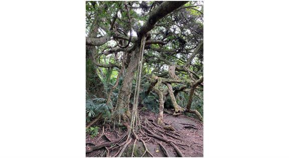 這就是「會走路的樹」——用心看,會發現半個山頭的樹,都是由這棵樹長出來的。